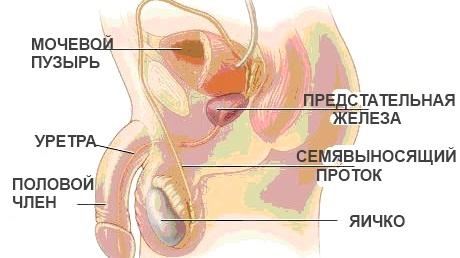 Аденома простаты - доброкачественная гиперплазия предстательной железы