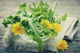 Лечебные свойства цветов одуванчика